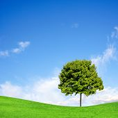 picture of maple tree  - Tree on green field under blue sky - JPG