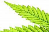 Isolated 5 Tip Marijuana Leaf 05 poster