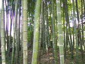 Sendai Japan, Bamboo 2