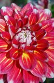 Red Dahlia Bursts