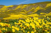Carrizo Plain National Monument During The California 2019 Superbloom. Intentionally Defocused Hills poster