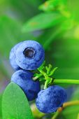 Blueberry Branch With Blue Ripe Blueberries. Real Ripe Blueberry Branch On A Blueberry Bush. Blueber poster