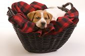 image of heeler  - Texas red heeler pup 9 weeks old in basket - JPG