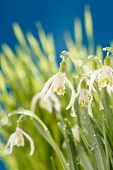 pic of snowbell  - Snowdrop flowers - JPG