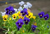 foto of viola  - Violas or Pansies Closeup in a Garden - JPG