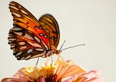 Ventrale Ansicht der Agraulis Vanillae, Gulf Fritillary Schmetterling gegen hellen Hintergrund