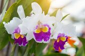 Orchid Flower In Garden At Sunny Summer Or Spring Day. Orchid Flower For Postcard Beauty Decoration  poster