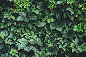 Hedge Of Big Green Leaves In Spring. Green Fence Of Parthenocissus Henryana. Natural Background Of G poster