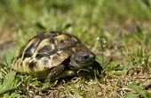foto of nac  - beautiful little turtle herman in green grass - JPG