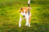 Beagle Dog Runs In Garden Towards The Camera With Green Ball. poster