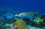 stock photo of barracuda  - Great Barracuda  - JPG