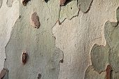 Platanus Tree Bark Ideal For Backgrounds And Compositions