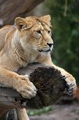 Lion On Tree Trunk