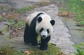 Giant panda bear walking