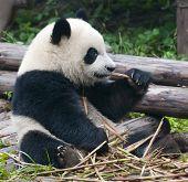 Hungry giant panda bear
