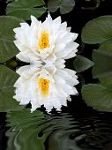 White Lotus Reflection