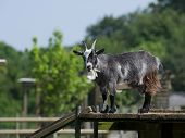 Black Goat Standing On A Wooden Platform In An Enclosure On The Farm In England poster