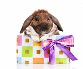 Lop-eared rabbit in a gift box with purple bow isolated on white