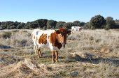 Cabestro- Cow berrenda