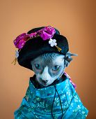 stock photo of geisha  - Sphynx cat in funny japanese geisha costume - JPG