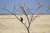 Lilac-breasted Roller, (coracias Caudatus), Etosha National Park.