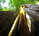 picture of sequoia-trees  - sequoias - JPG