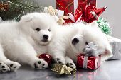 sleeping white spitz and gifts christmas