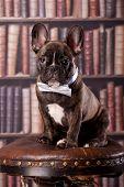 Cute bulldog francés cachorro
