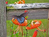 Butterfly On Tiger Lilly A