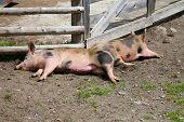Piglets Sleeping