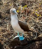 Curious Blue Footed Booby Seabird On Galapagos