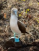 stock photo of blue footed booby  - Blue footed booby is seabird famous for living on Galapagos Islands National Park in Ecuador - JPG