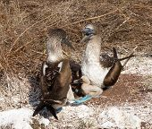Two Blue Footed Booby Seabirds And Chicks