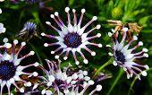 White  Spider Osteospermum