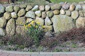 Frisian Stone Wall And Wild Daffodil