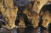 stock photo of lioness  - Group of Lions drinking at waterhole close - JPG