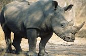 Rinoceronte negro (Ceratotherium Simum)
