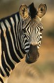 Plains Zebra (Equus Burchelli) close-up