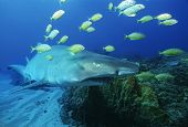 Sodwana Bay Indian Ocean South Africa Sand tiger shark (carcharias taurus) and golden trevally (gnat