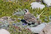 Horned Lark in Alpine Meadow