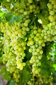 Ripening white grapes at vineyard