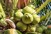 Young Coconut On Prolific Coconut Tree