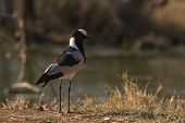 Blacksmith Lapwing Or Blacksmith Plover - Vanellus Armatus
