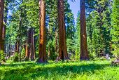 stock photo of sequoia-trees  - the famous big sequoia trees are standing in Sequoia National Park Giant village area big famous Sequoia trees mammut trees - JPG