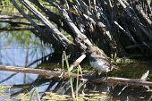 Young Grebe Perched On Log.