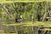 Young Wood Duck In Swamp.