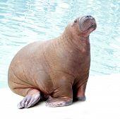 walrus portrait on water background