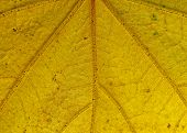 Leaf Pattern, Yellow, Veins, Backlit, Nature, Decay, Close Up, M