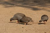 Red-billed Francolins (pternistes Adspersus)