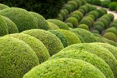 Boxwood - Green garden big balls in France